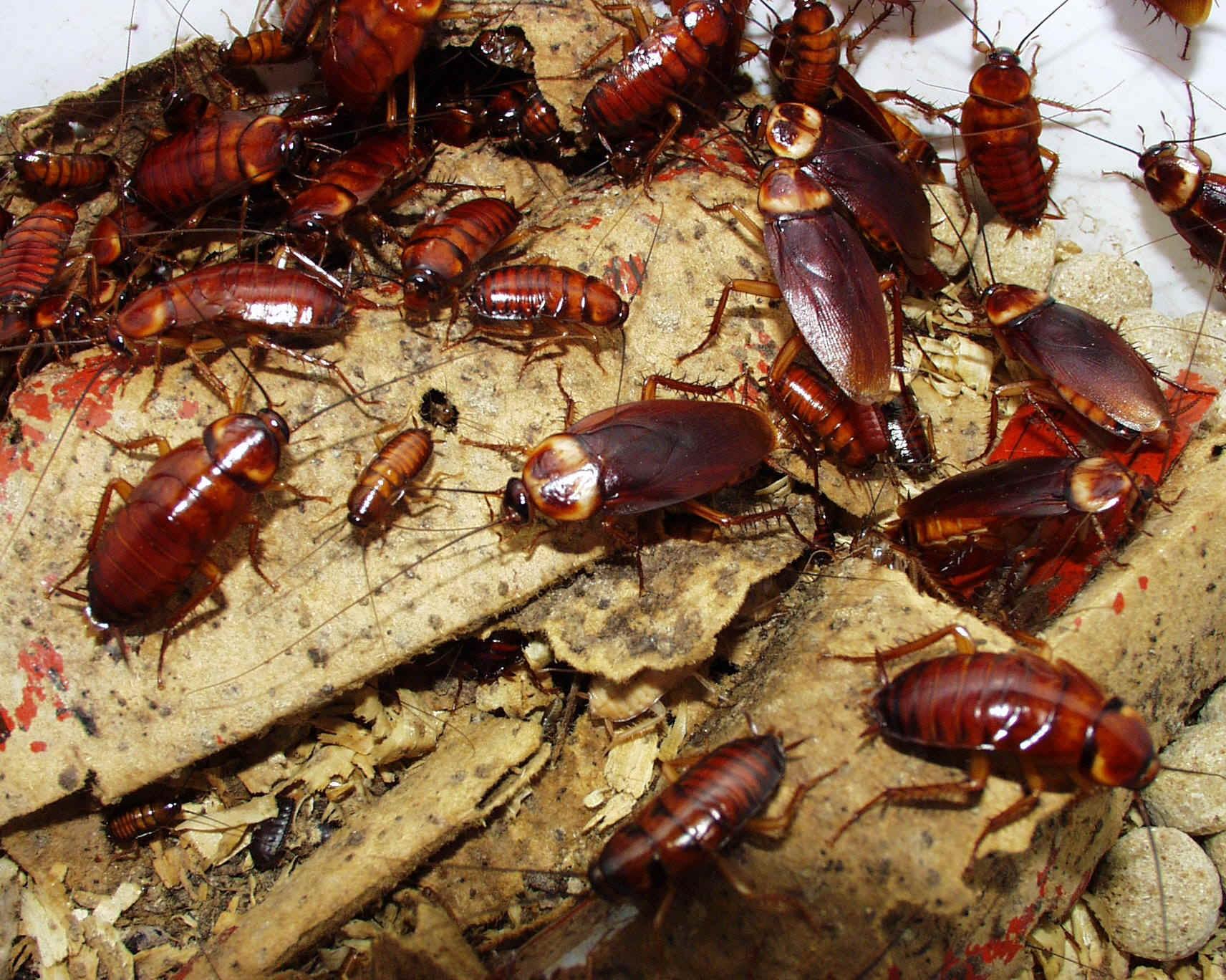 Sacramento Cockroaches